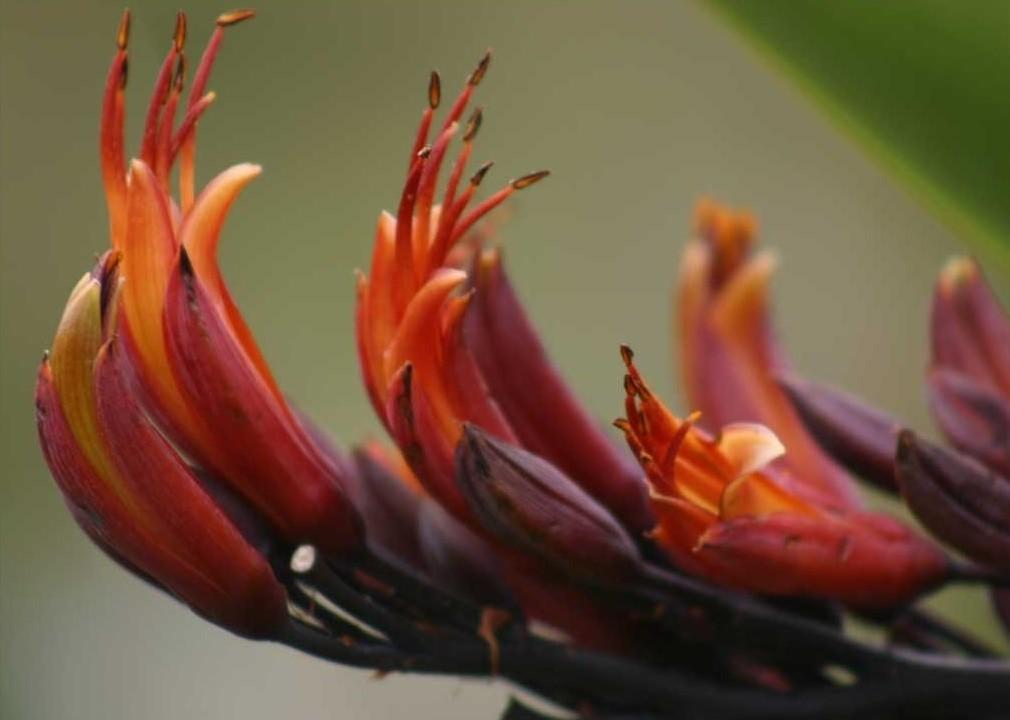 Flax_flower (2)